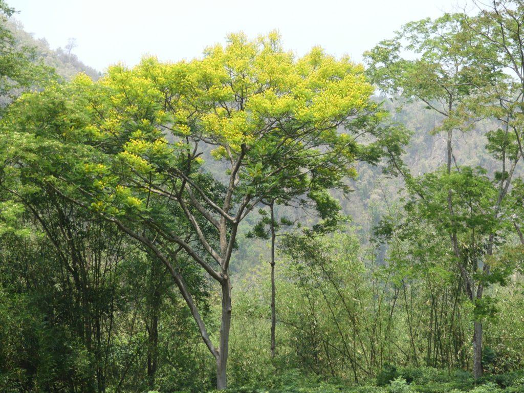 protéger-Erythrophleum-africanum